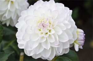 fleur-mariage-ete-dahlia